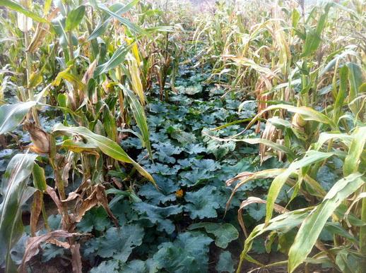защита растений от жары с помощью кукурузы