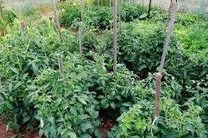 правила качественного полива помидоров