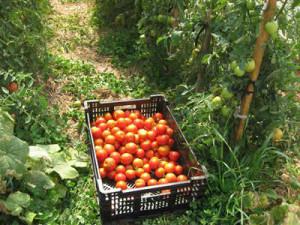 как получить много помидор