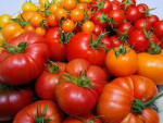 получить много помидоров очень просто