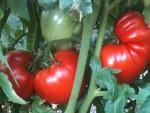 Чем полить помидоры