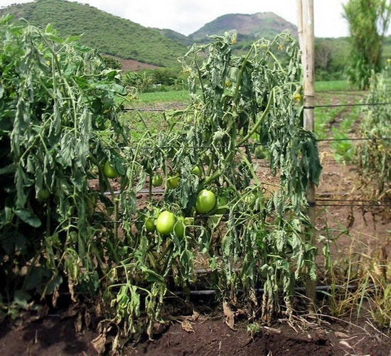 Фузариозное увядание на помидорах