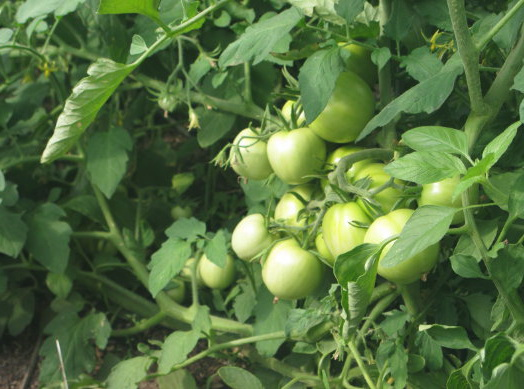 Как бороться с болезнями помидоров
