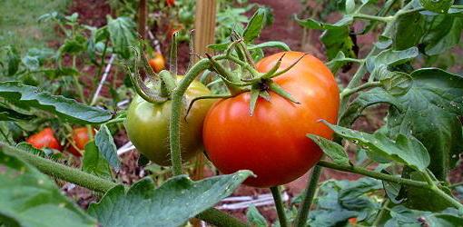 Как правильно ухаживают за помидорами