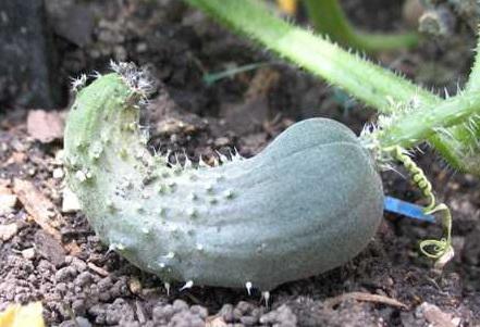 Почему огурцы растут крючком в открытом грунте и что тогда делать