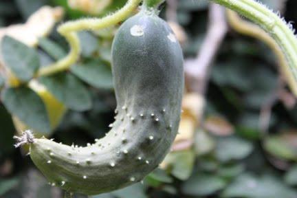Почему огурцы растут крючком в открытом грунте