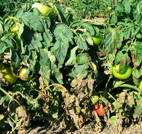 Почему желтеют и сохнут помидоры