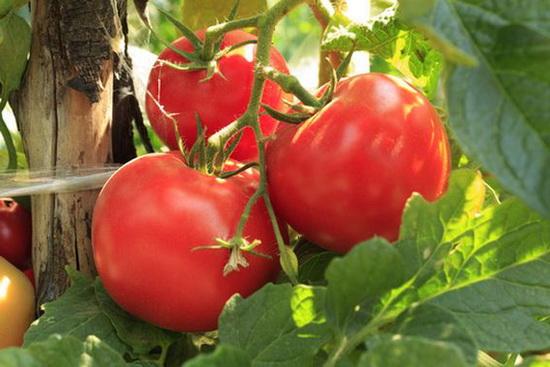 Подкармливаем помидоры комплексными удобрениями