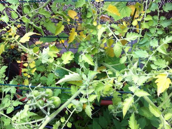 Проблемы при неправильном уходе за томатами