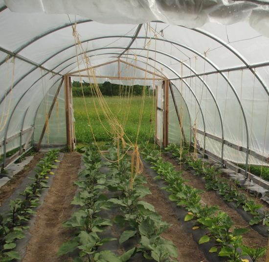 Выращивание каллы в теплице круглый год 33