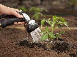 как поливать рассаду помидоров