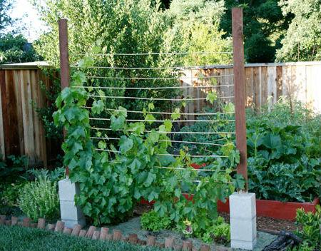 виноград как защита огорода от солнца
