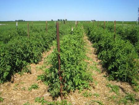 мульчирование как способ защиты растений от жары
