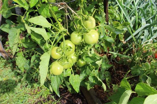 Чем подкормить помидоры по листьям