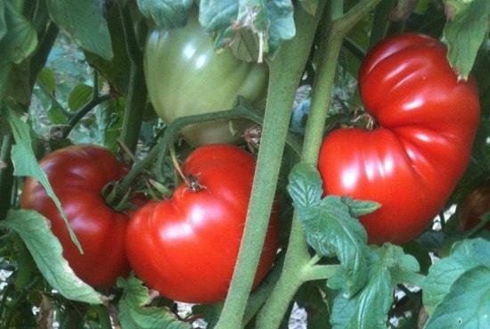 Чем полить помидоры1