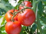 Как подкармливать помидоры