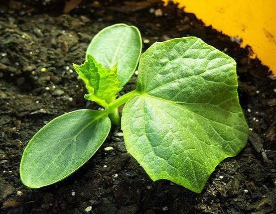 Как посадить огурцы в теплице