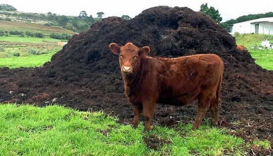 Как удобрять растения коровьим навозом правильно
