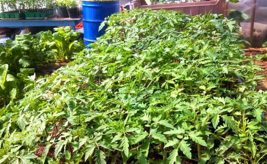 Как вырастить рассаду помидоров на продажу1