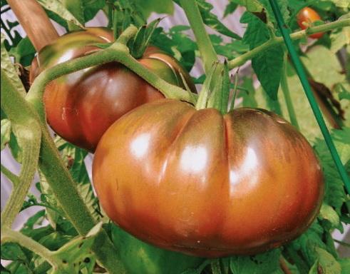 Когда подкармливают помидоры