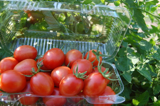 Когда собирать помидоры для дозревания