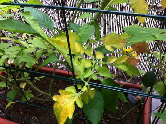 Листья помидоров вянут и желтеют