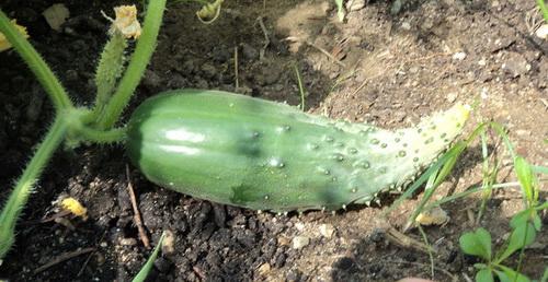 Почему огурцы растут крючком в огороде