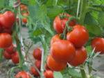Поливка помидоров фото