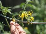 Помидоры цветут а завязи мало что делать