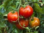 Правила ухода за помидорами