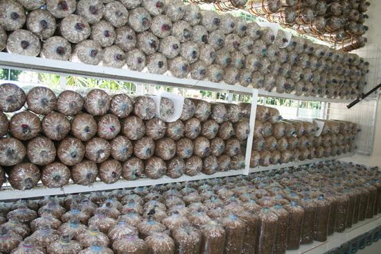 Производство грибов как бизнес