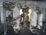 Производство грибов вешенок как бизнес