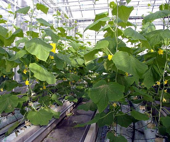 Выращивание овощей бизнес