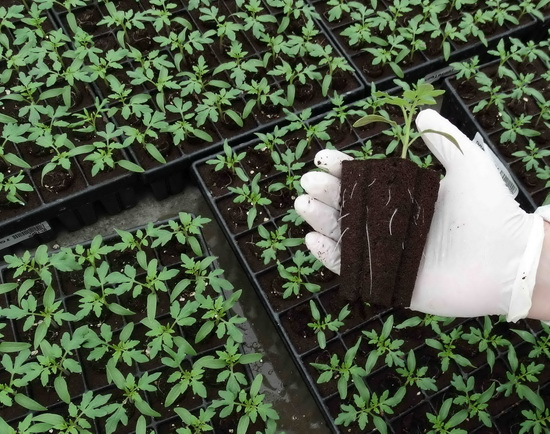 Выращивание рассады помидоров