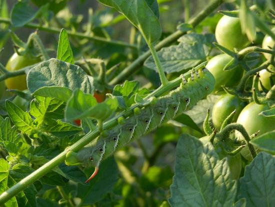 Защита помидоров от вредителей