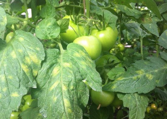 кладоспориоз на томатах
