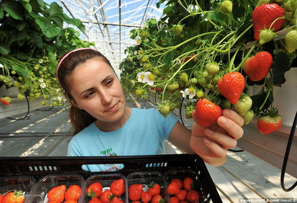 новые разработки выращивание клубники малый бизнес