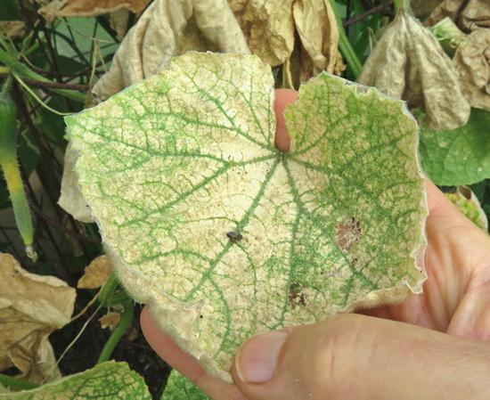 почему пожелтели листья огурцов