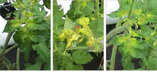 верхушка у помидор вянет и желтеет
